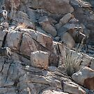 Big Horn Mountain Sheep by barnsis