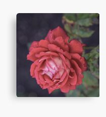 Radiant Red Beauty Canvas Print