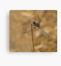 Male scarce chaser reversed Canvas Print
