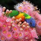 Classic Rainbow Lorikeet ! by Anthony Goldman