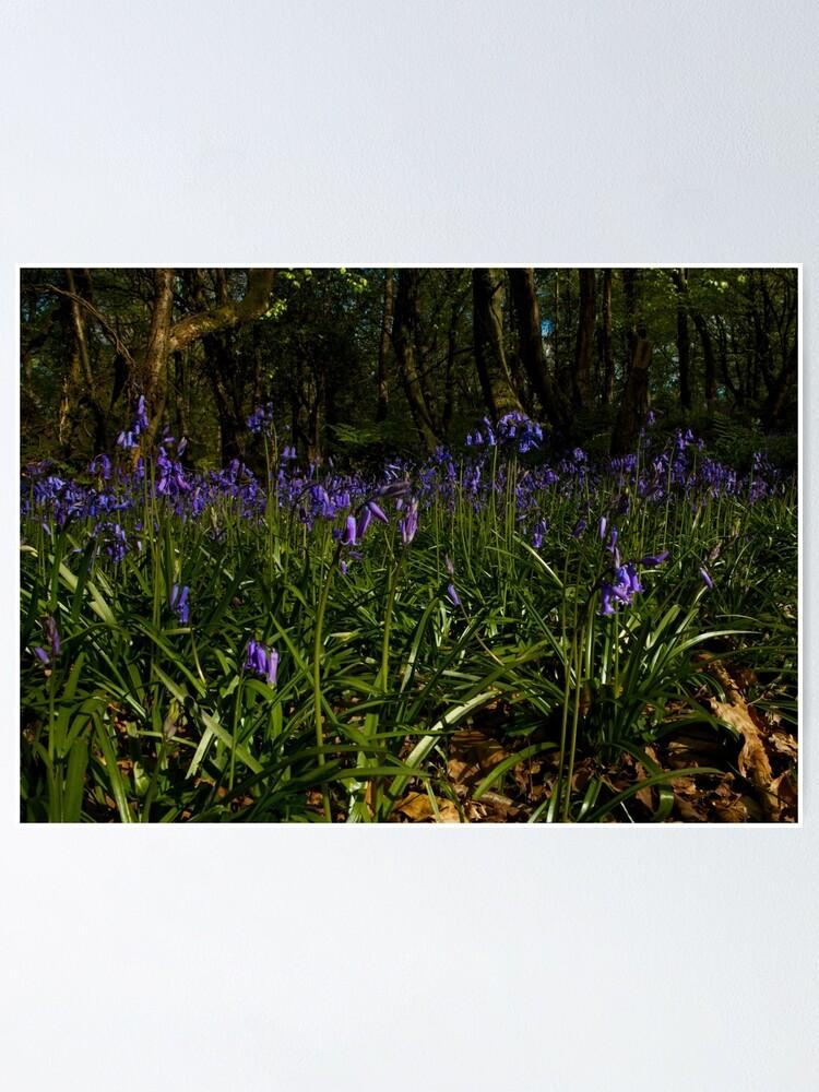 Alternate view of Bluebells in Prehen Woods Poster