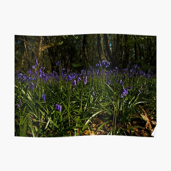 Bluebells in Prehen Woods Poster