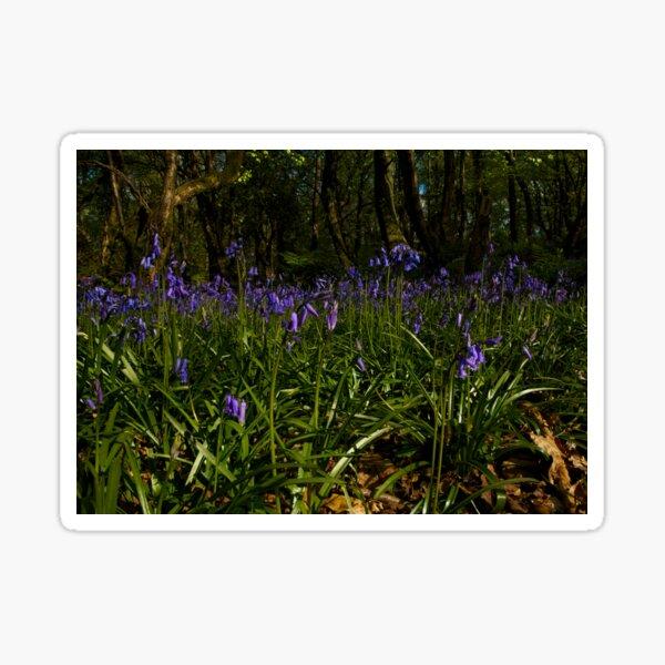 Bluebells in Prehen Woods Sticker