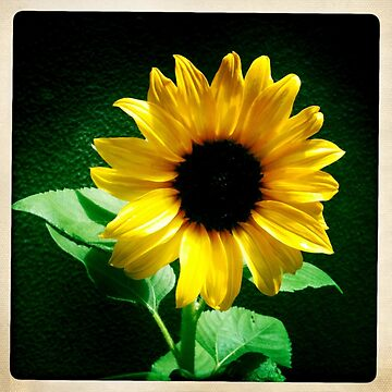 Sunflower Love by silvanarama