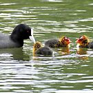 Coot & Chicks -Melbourne by AndreaEL