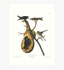 Purple Martin - John James Audubon Art Print