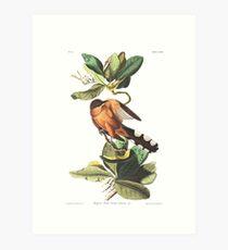 Mangrove Cuckoo - John James Audubon Art Print