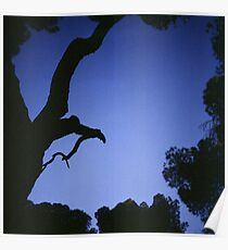 Tree branches in silhouette against blue dusk sky  square medium format film analogue photographs Poster