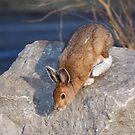 Snowshoe hare (Lepus americanus) in Spring by Jim Cumming