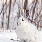 Snowshoe hare (Lepus americanus) in winter by Jim Cumming