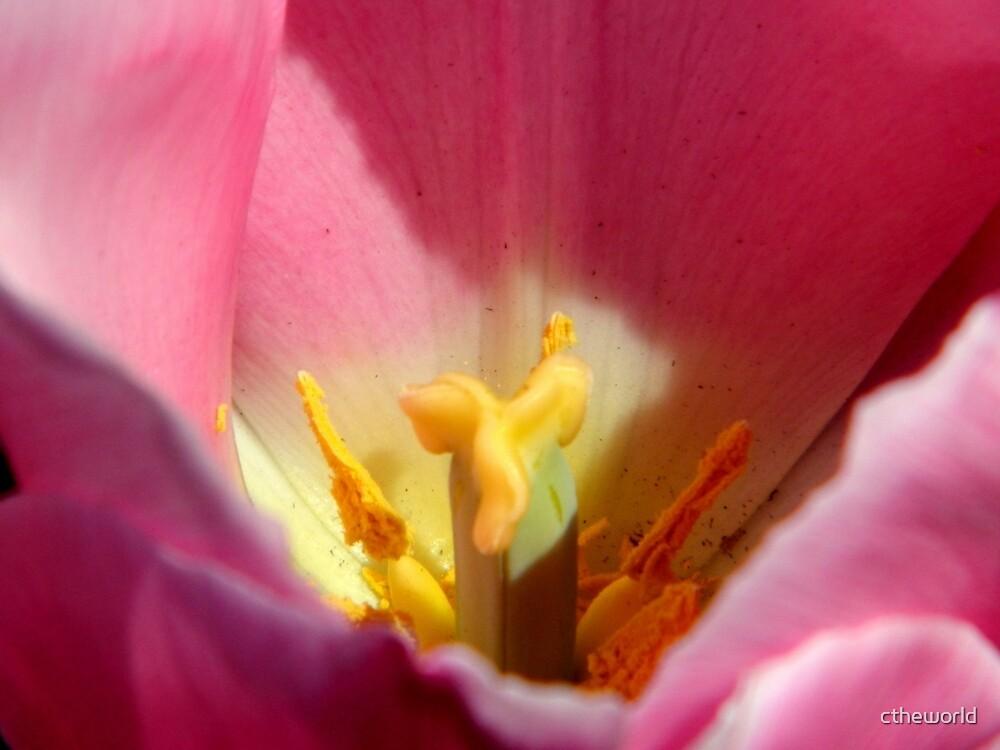 Garden Work-Tulip Macro     ^      by ctheworld