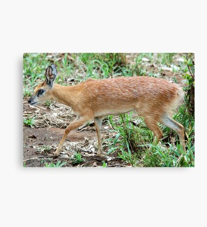 THE TINY, SHY, SHARPE'S GRYSBOK – Raphicerus sharpie Canvas Print