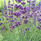 Lavender by Christine  Wilson