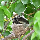 Three Little Willy Wagtails almost ready to fly! Australian native birds. by Rita Blom