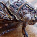 Cicada by rom01