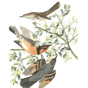 Sage Thrasher and Mocking bird - John James Audubon by billythekidtees