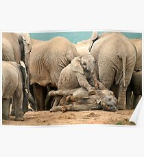 Group of wild elephants in South Africa Poster