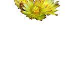 Golden Barrel Cactus Flower by QWERTYvsDVORAK