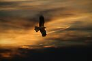 Swamp Harrier. by Andy Newman