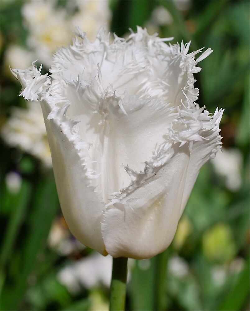 Tulip Lace by Penny Smith