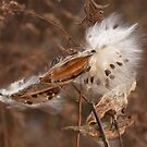 Windblown Milkweed..... by Poete100