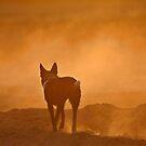 Koolie dust by annofsilhouette