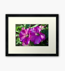 Two pretty summer pink purple petunia flowers picture.  Framed Print