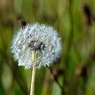 Dandelion on the Downs by mikebov