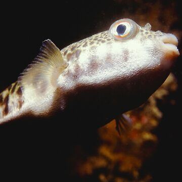 Common Toadfish by eschlogl