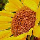 Sunflower of My Day  by Wviolet28