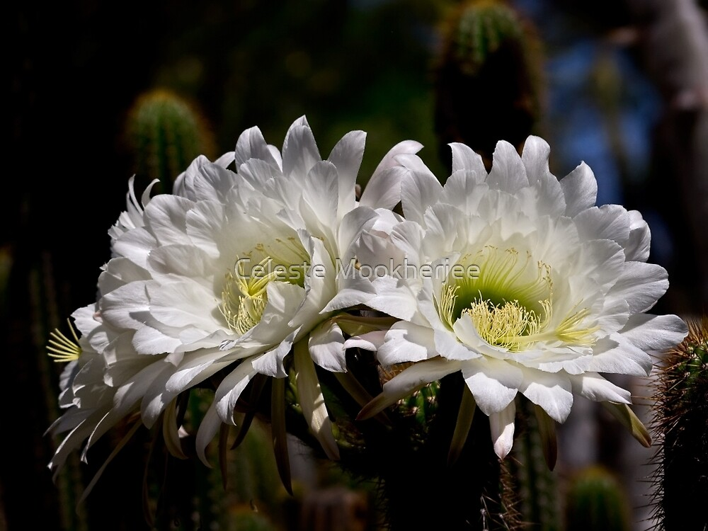 Echinopsis twins by Celeste Mookherjee