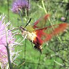 Hummingbird Moth by Ginny York