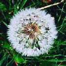 Dandelion by Rosie Riviere-Pring