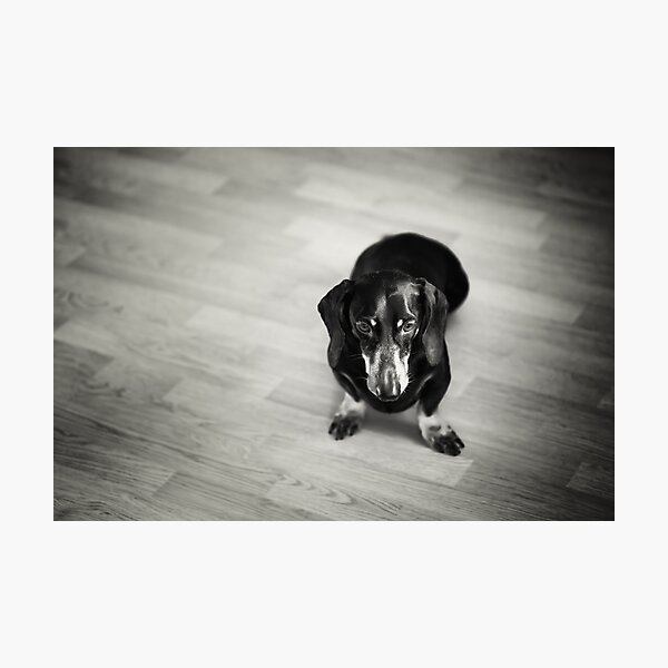 Black and White Portrait of Dachshund Dog Photographic Print