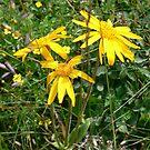 « L'Arnica des montagnes, la fleur des bobos ! » par gourm-sauvages