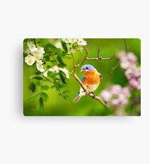 Beautiful Bluebird Canvas Print