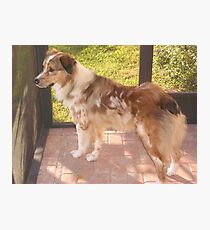 AS red merle full Photographic Print
