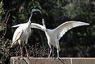Juvenile Australian White Ibis Begging by Carole-Anne