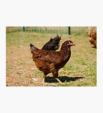 Rhode Island Red Photographic Print