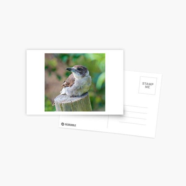 ARTAMIDAE ~ Grey Butcherbird TT5KVXMA by David Irwin Postcard