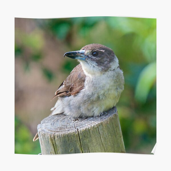 ARTAMIDAE ~ Grey Butcherbird by David Irwin Poster
