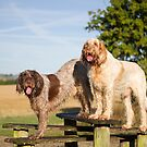 Italian Spinoni Dogs Woody and Ruben by heidiannemorris