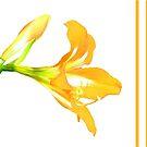 Golden Lily on White by Rosalie Scanlon