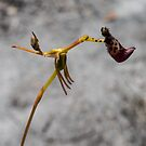Warty Hammer Orchid by Naomi Brooks