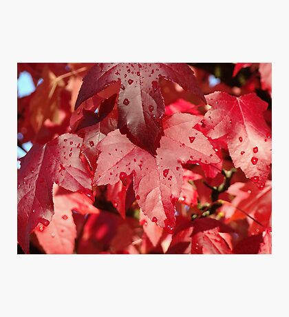 RED Autumn Leaves Art Prints Fall Trees Photographic Print