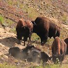 Heard of bisons by zumi