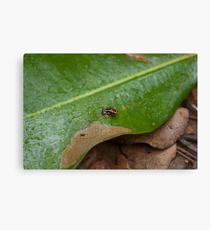 Cuba: The tiny, tiny Monte Iberia eleuth frog Canvas Print