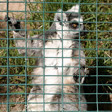 Ring Tailed Lemur by hlehnerer