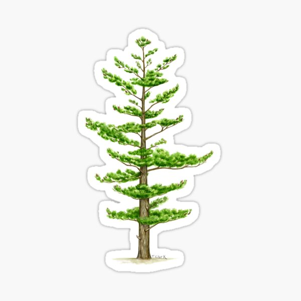 White Pine (Pinus strobus) Sticker