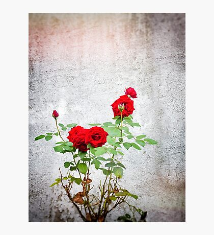 Red roses against wall Photographic Print